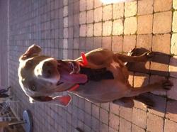 Emy, chien Braque de Weimar