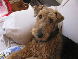 Emy, chien Airedale Terrier