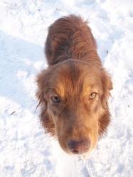 Emy, chien Berger australien
