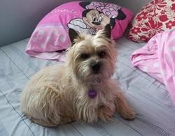 Emy Leclere, chien Cairn Terrier