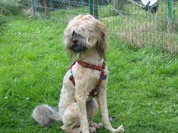 Emyr, chien Terrier tibétain