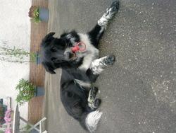 Emyr, chien Border Collie