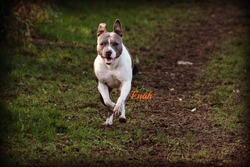 Enah, chien American Staffordshire Terrier