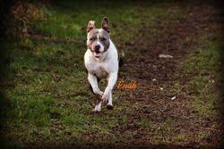 Enah, chien American Staffordshire Terrier