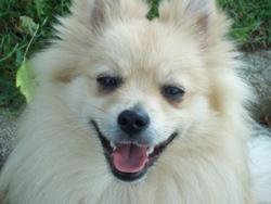Enddy, chien Spitz allemand