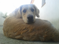 Endgie, chien Golden Retriever