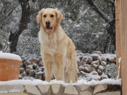 Endgie, chien Golden Retriever