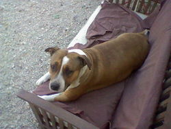 Endgie, chien Staffordshire Bull Terrier
