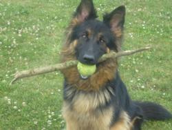 Endja, chien Berger allemand