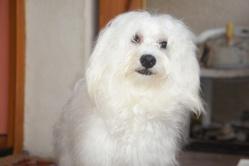 Engel, chien Bichon maltais