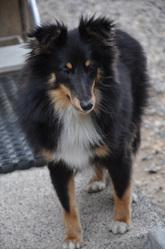Engel , chien Berger des Shetland