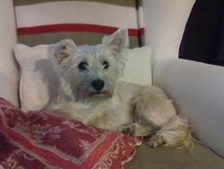Engie, chien Cairn Terrier