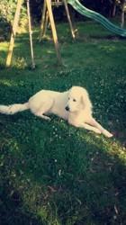 Engie, chien Cavalier King Charles Spaniel