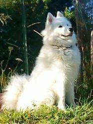 Engun, chien Samoyède