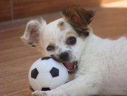 Enigma, chien Chihuahua