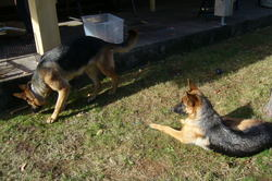 Enja, chien Berger allemand