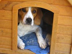 Enji, chien Beagle