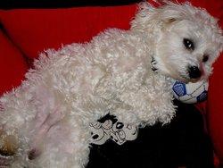 Enji, chien Bichon maltais