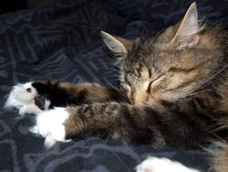 Enjie, chat Norvégien