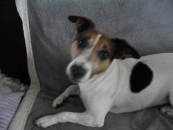 Enjie, chien Jack Russell Terrier
