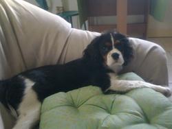 Enjoy, chien Cavalier King Charles Spaniel