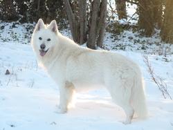 Enjoy Du Domaine De La Combe Noire , chien Berger blanc suisse