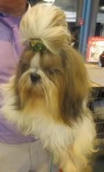 Enjoy Du Domaine Des Varennes, chien Shih Tzu