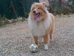 Enjy, chien Colley à poil long