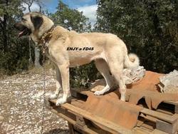 Enjy, chien Berger d'Anatolie