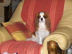 Enjy, chien Cavalier King Charles Spaniel