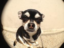 Enka, chien Chihuahua