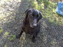 Enngua, chien Labrador Retriever