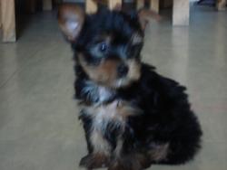 Enni, chien Yorkshire Terrier