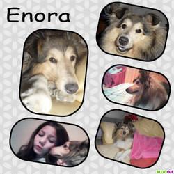 Enora, chien Berger des Shetland