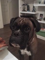Enox, chien Boxer