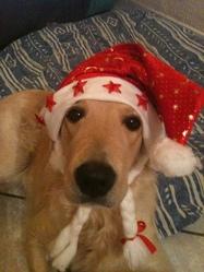 Enox, chien Labrador Retriever