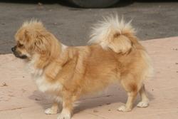 Entelle, chien Épagneul tibétain