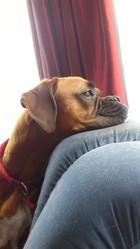 Enya, chien Boxer
