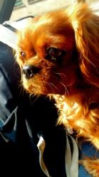 Enya, chien Cavalier King Charles Spaniel