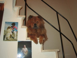 Enya, chien Chow-Chow