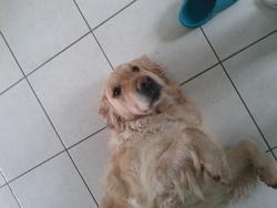 Enya, chien Golden Retriever