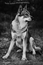 Enyéto Endiguélo Emozioni Breizh, chien Chien-loup de Saarloos