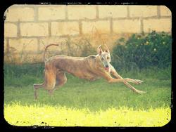 Enza, chien Lévrier espagnol