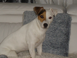 Enza, chien Jack Russell Terrier