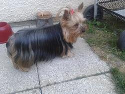 Enza, chien Yorkshire Terrier