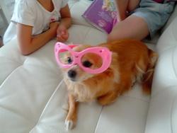 Enzie, chien Chihuahua