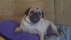 Enzo, chien Carlin