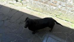 Enzo, chien Teckel