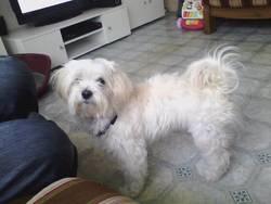 Enzo, chien Bichon havanais