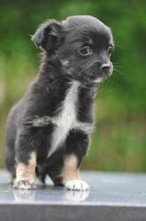 Enzo, chien Chihuahua